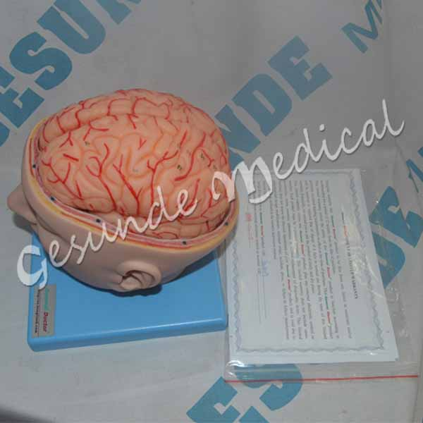 Torso Otak Manusia Dengan Arteri Kami Menjualnya 9f84a7bc87